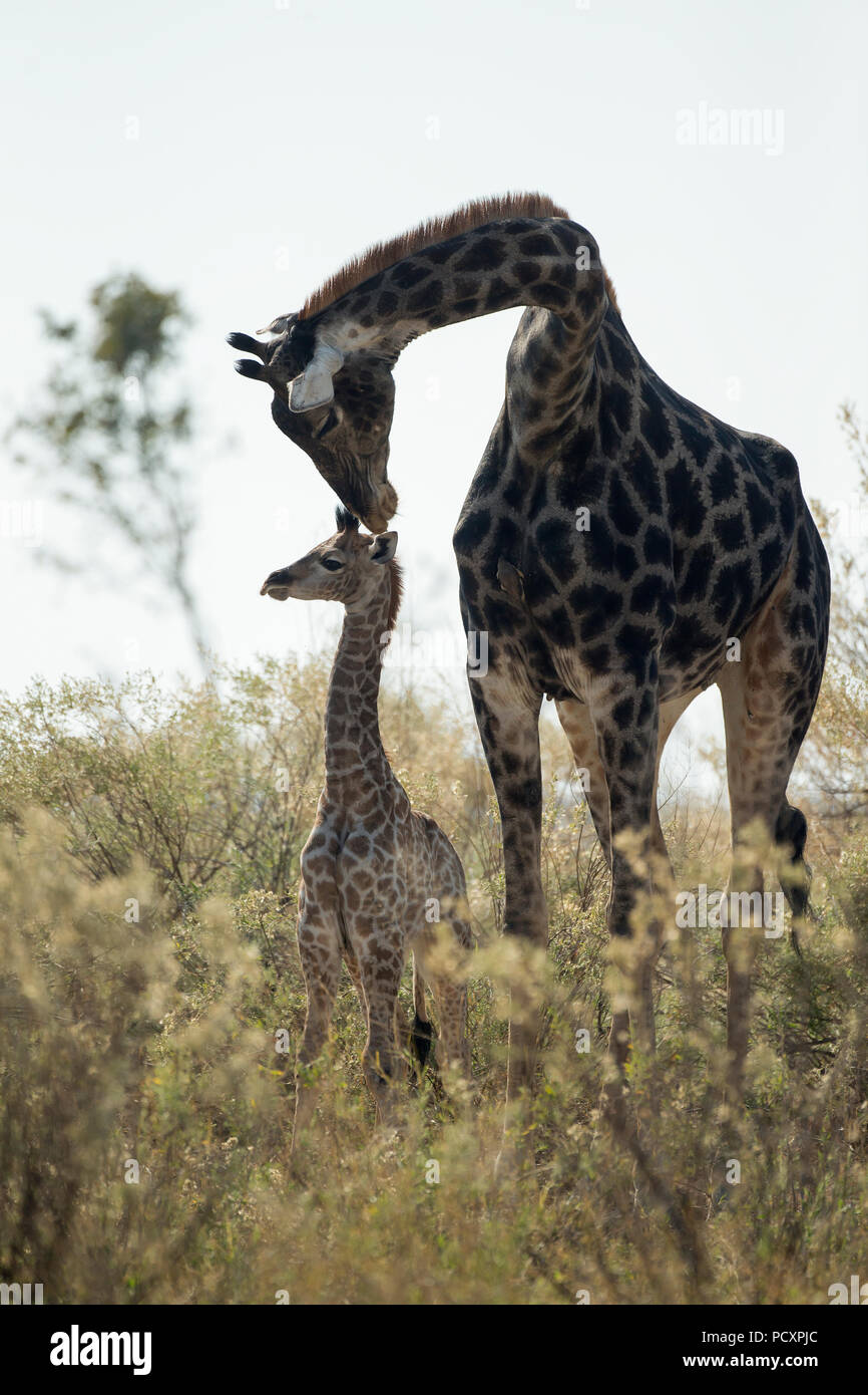 Giraffe, Giraffa camelopardalis giraffa, parent, mother, baby, calf, family, Botswana - Stock Image