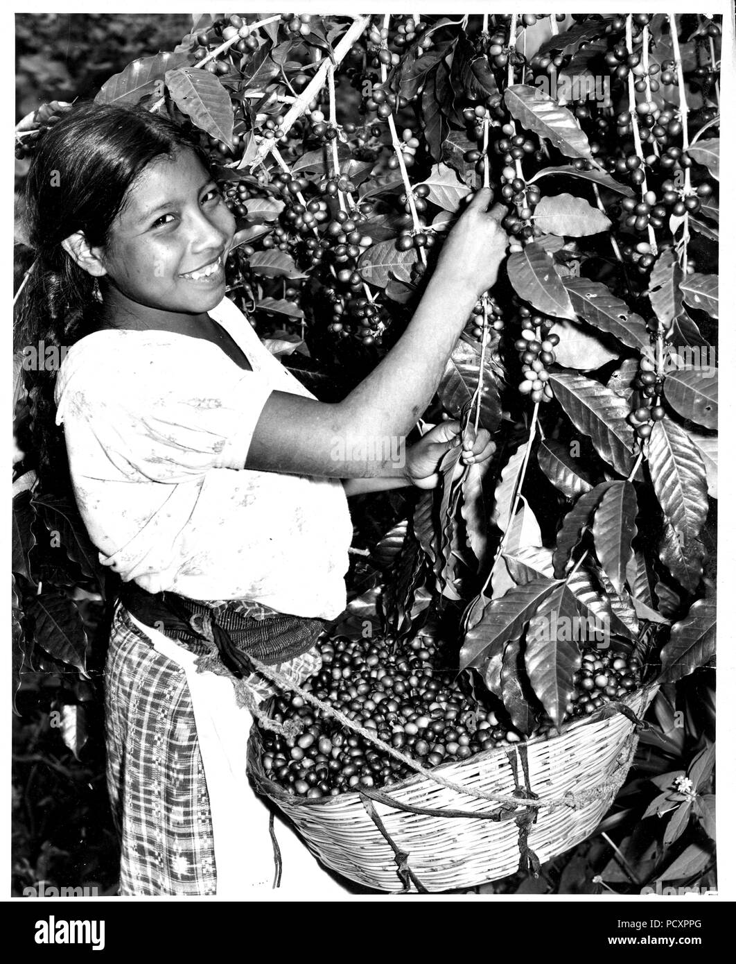 Coffee harvest. The pickers select the ripe red cherries leaving the green, immature fruit on the tree for later harvest. Finca Moca, Guatelon, Guatemala. - Stock Image