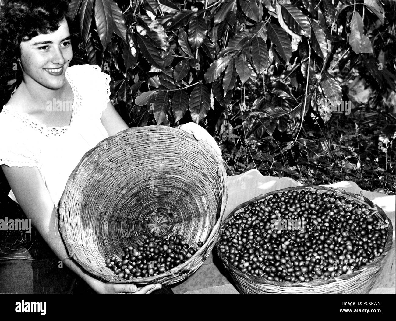 Coffee harvest. The pickers select the ripe red cherries leaving the green, immature fruit on the tree for later harvest. Guatemala. 1949 - Stock Image