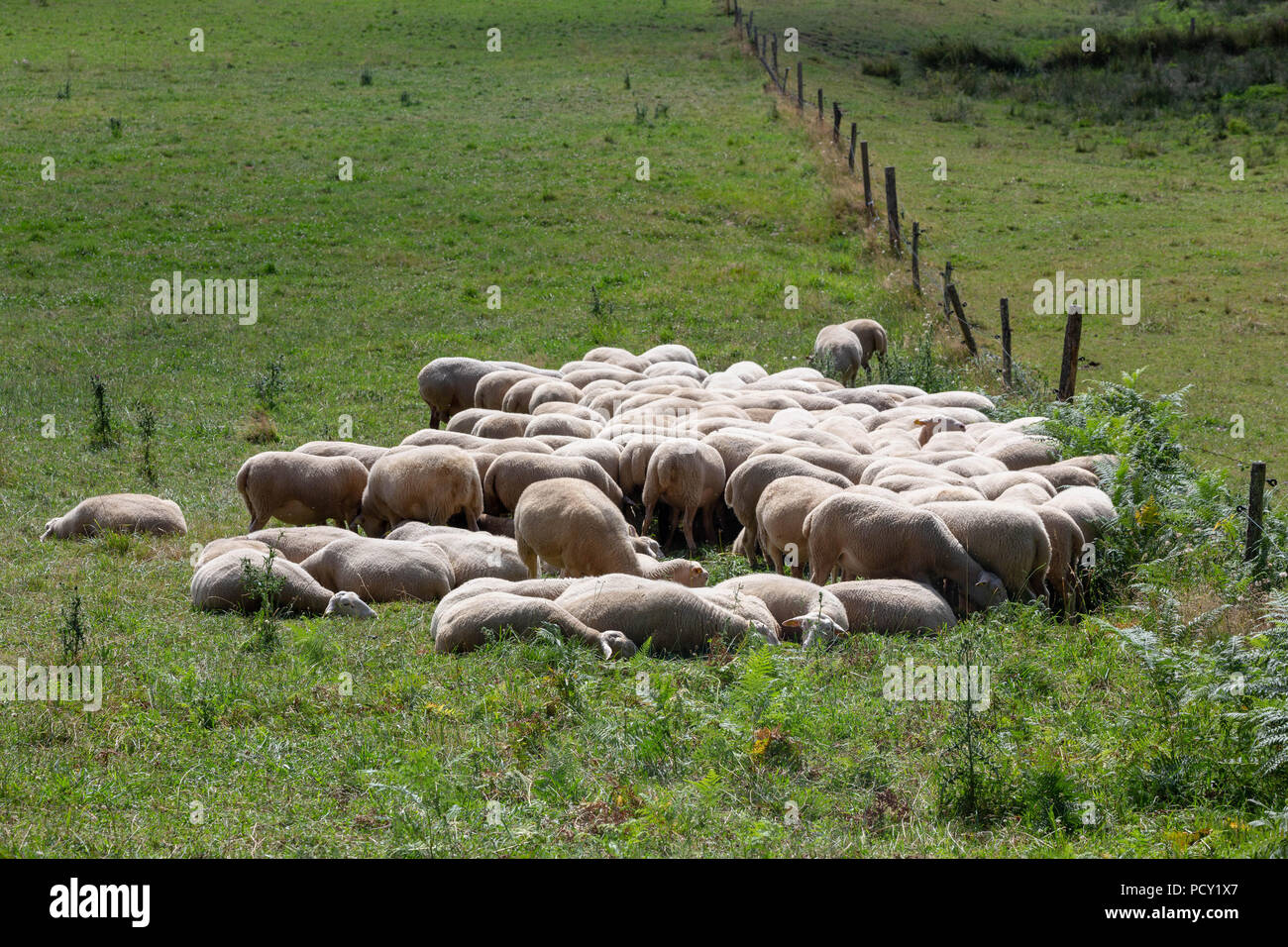 Herd of sheep huddled together to rest and ruminating in a green pasture. - Stock Image