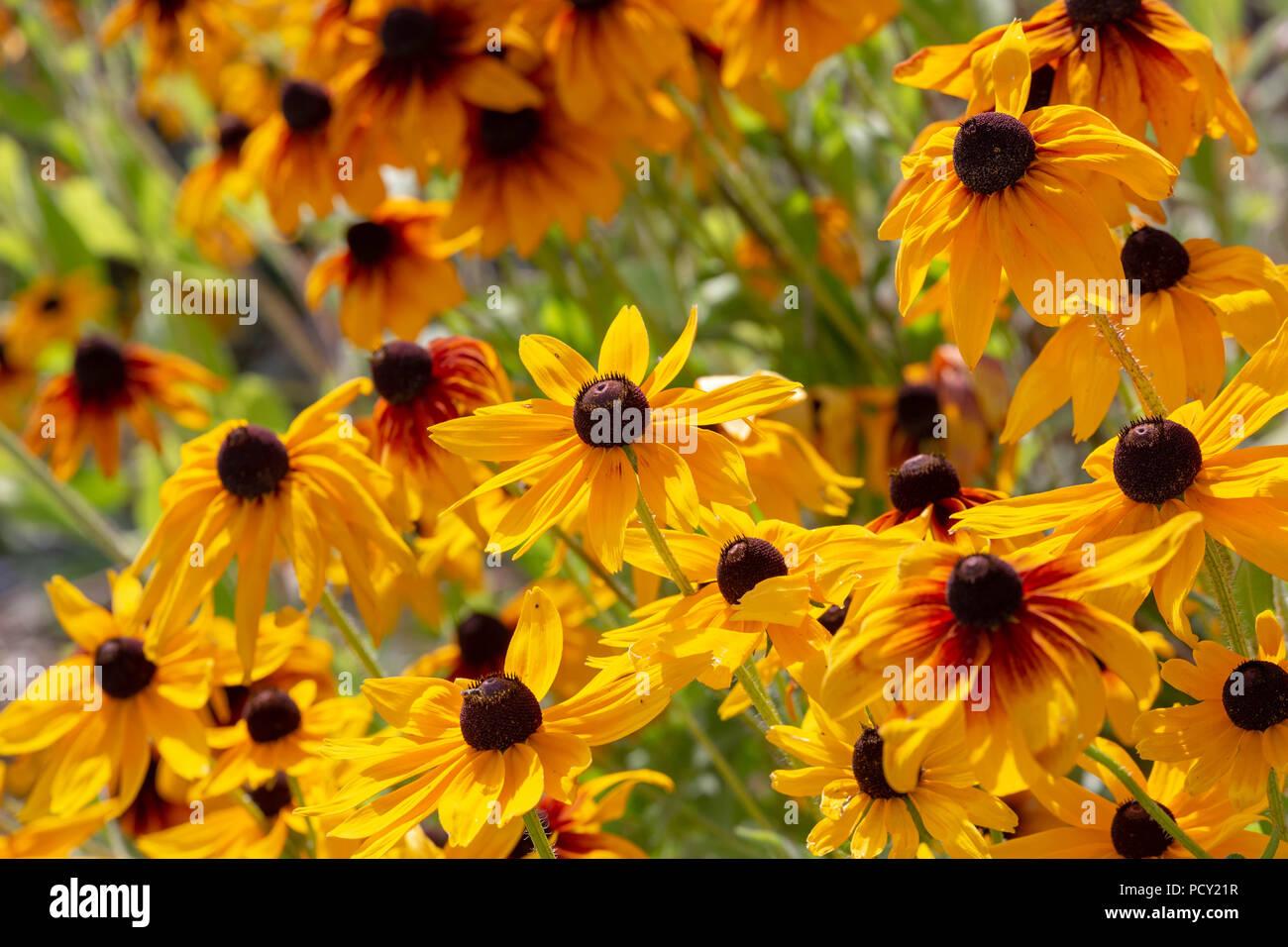 Yellow Coneflower Cone Flowers Stock Photos Yellow Coneflower Cone