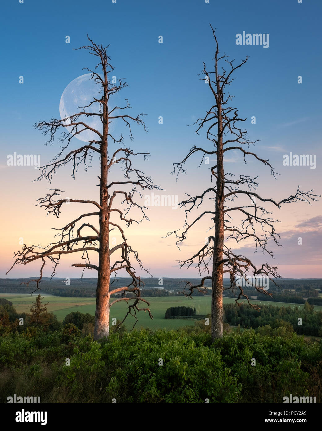 Two old trees with beautiful sunset and moon at summer evening in Finland - Stock Image