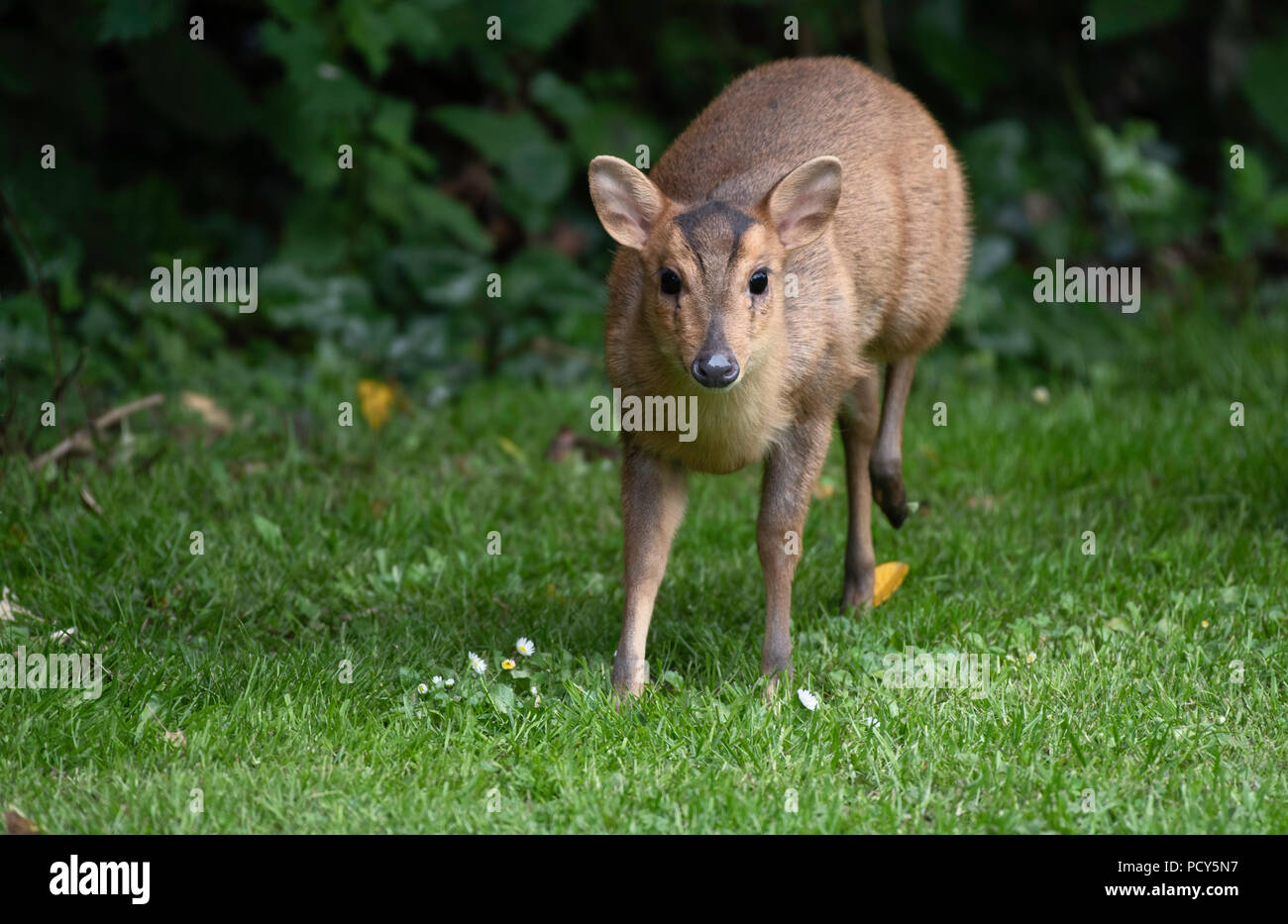 A Reeves Muntjac female visits a North Norfolk garden. - Stock Image