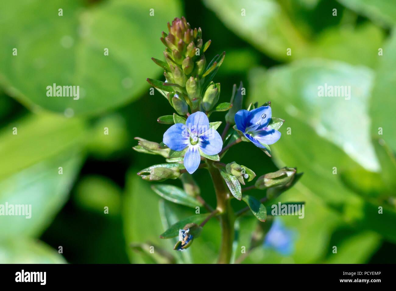 Brooklime (veronica beccabunga), close up of a single flowering spike. Stock Photo