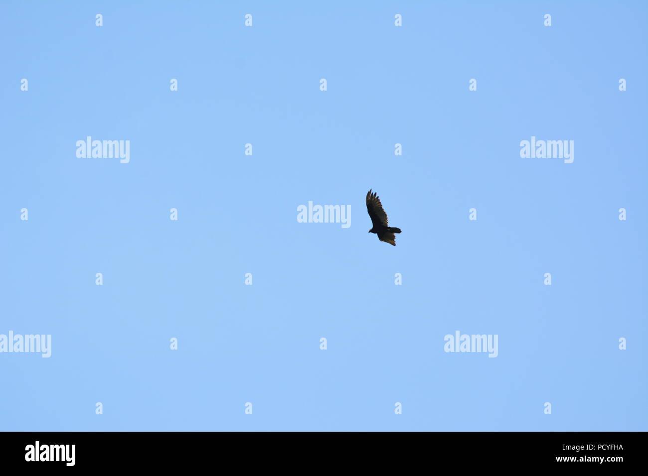 Bird soaring below blue sky - Stock Image