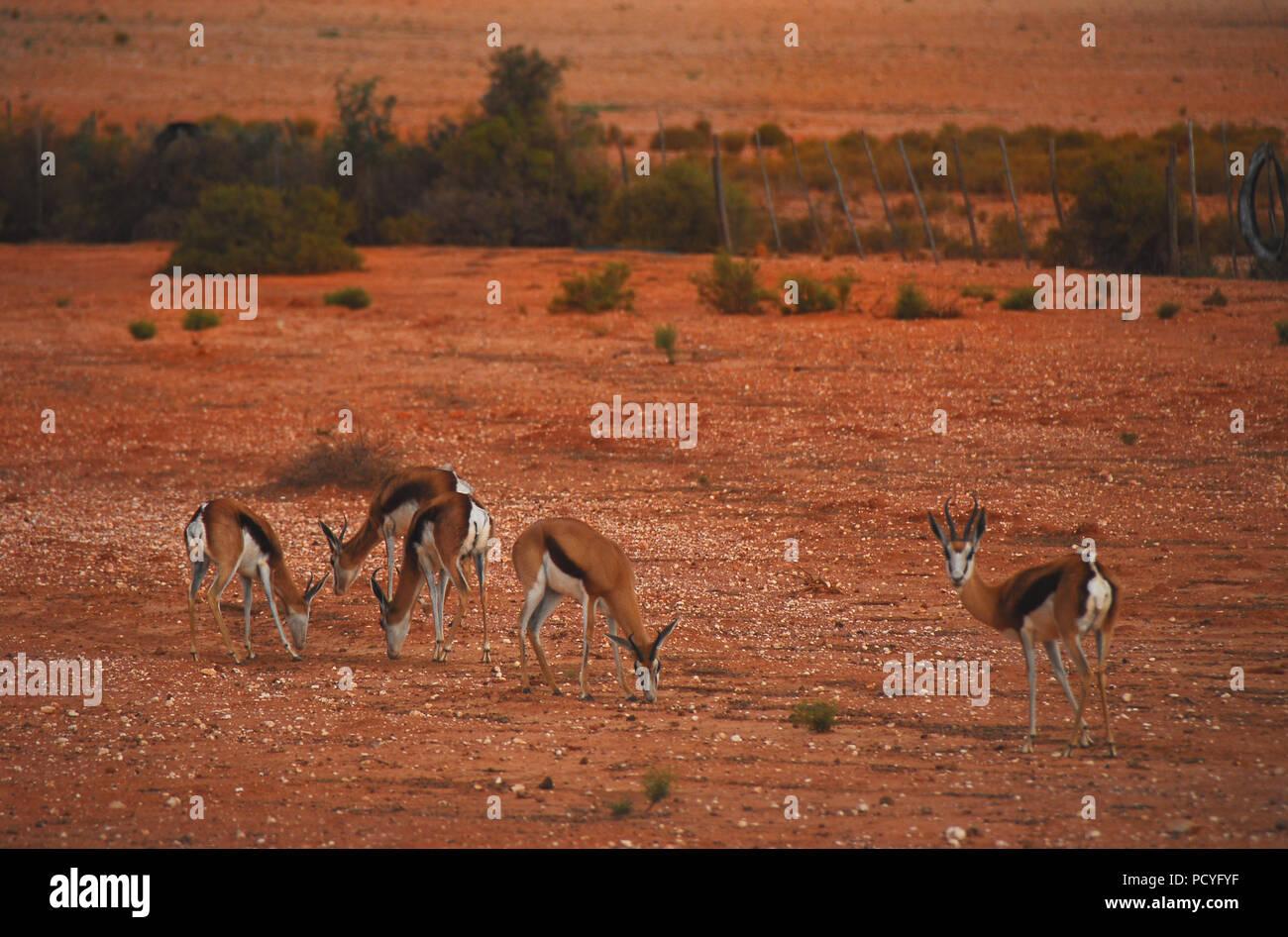 Antelope White Background Stock Photos & Antelope White