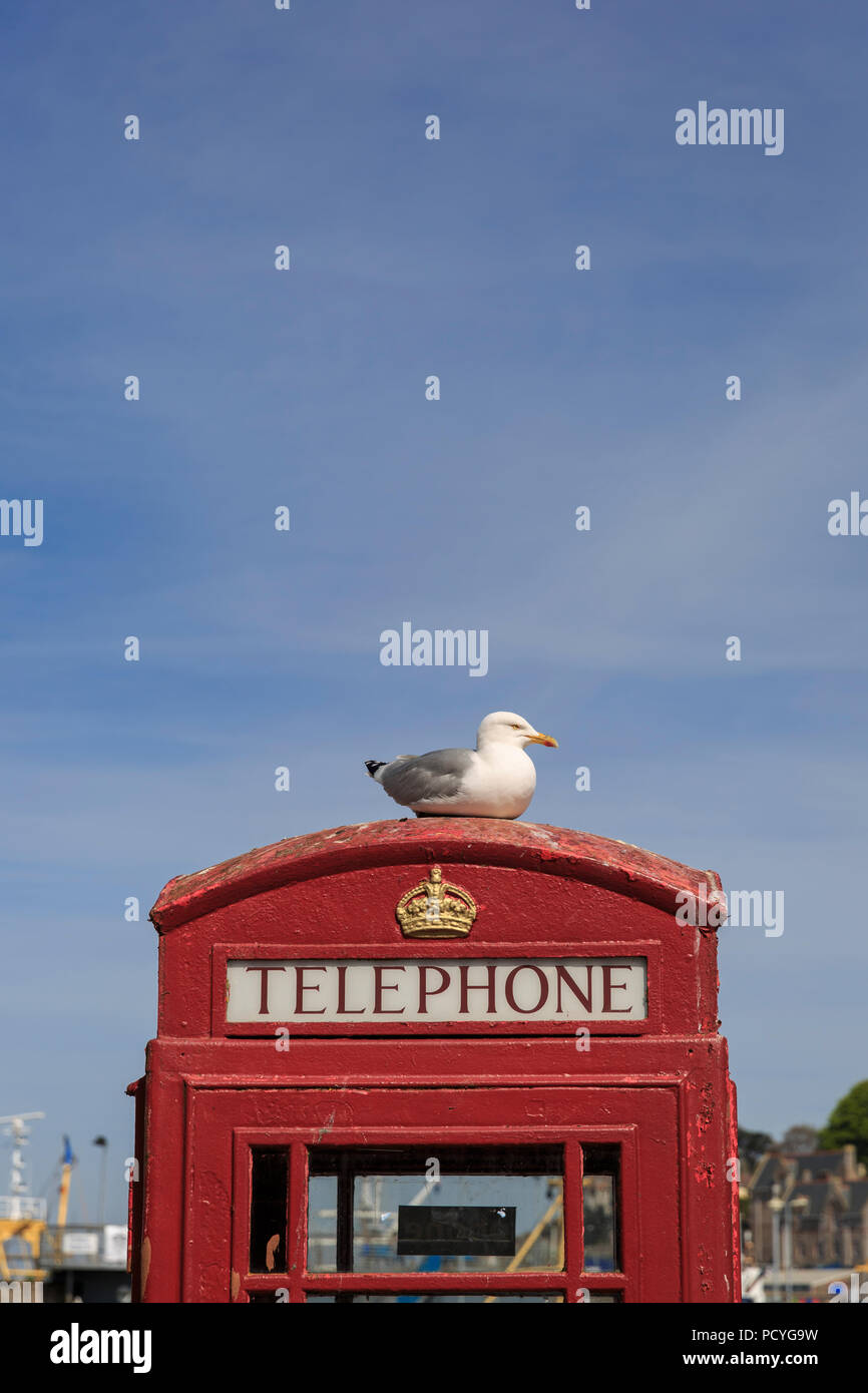 A sea gull (Herring Gull - Larus Argentatus) sits atop a red telephone box in Brixham, Devon, one a bright summers day - Stock Image