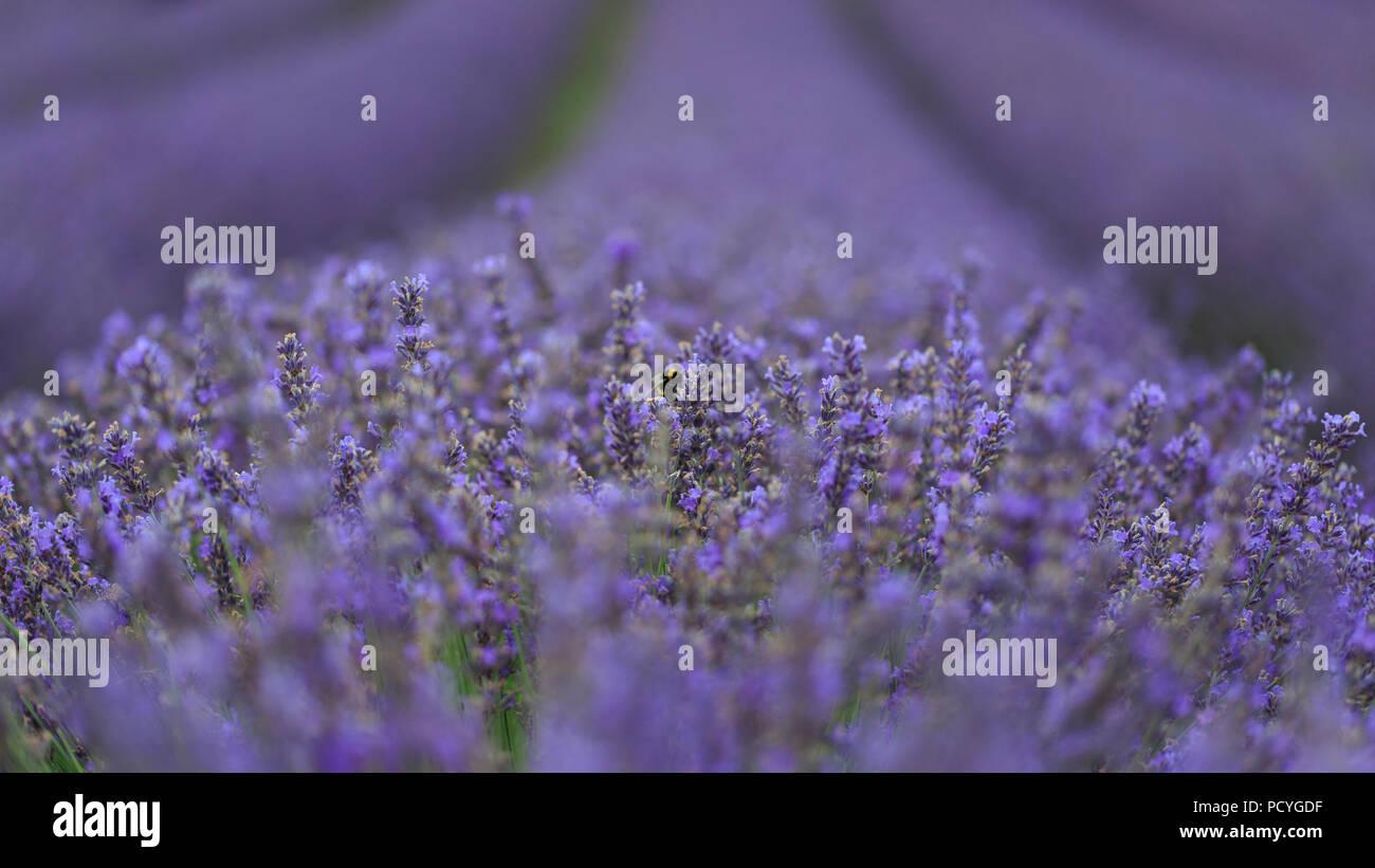 English Lavender Stock Photos & English Lavender Stock