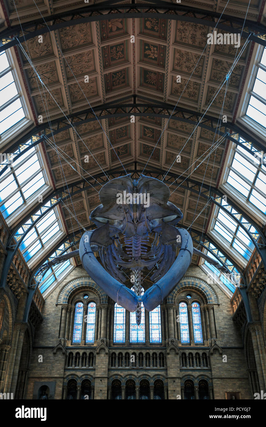 A Blue Whale skeleton hanging in Hintze Hall, the main hall at the Natural History Museum in London - Stock Image