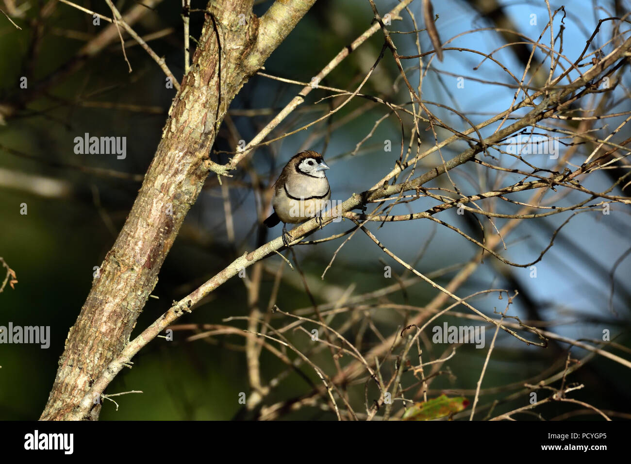 An Australian, Queensland Double-barred Finch ( Taeniopygia bichenovii ) perched on a tree branch resting in lovely soft morning light - Stock Image