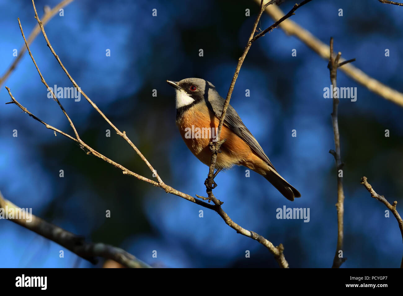 An Australian, Queensland Male Rufous Whistler ( Pachycephala rufiventris ) perched on a tree branch resting in lovely morning light - Stock Image