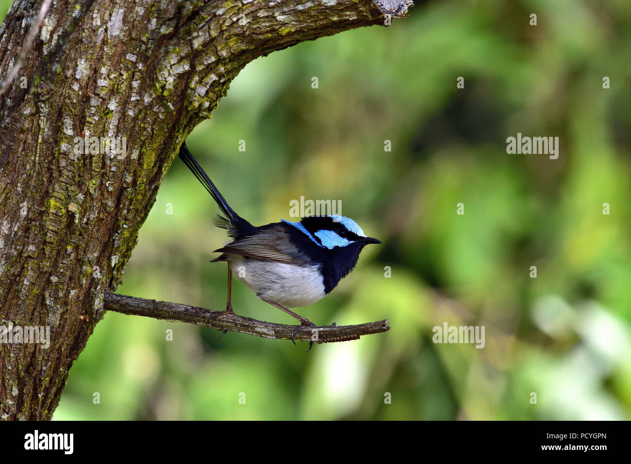 An Australian, Queensland Male Superb Fairy-wren ( Malurus cyaneus ) perched on a tree branch looking up for food - Stock Image