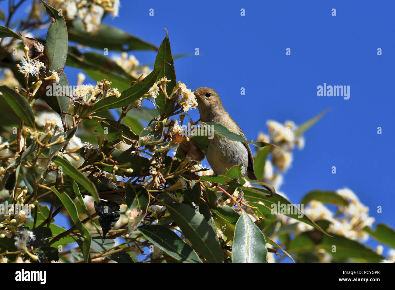 An Australian, Queensland Female Scarlet Honeyeater ( Myzomela sanguinolenta ) perched on a tree branch feeding on nectar - Stock Image