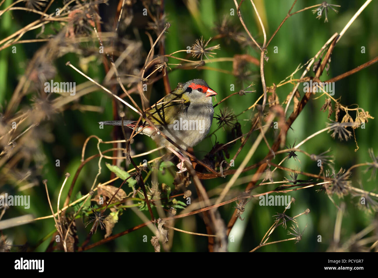 An Australian, Queensland Red-browed Finch ( Neochmia temporalis ) eating seeds in thick bush Stock Photo