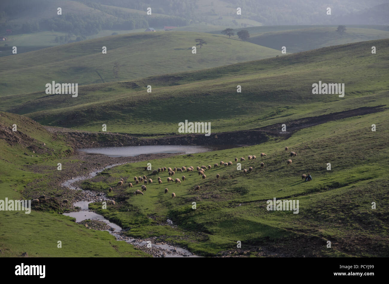 Spring landscape in sunset with sheeps and meadow. Zlatibor mountain area, Serbia - Stock Image
