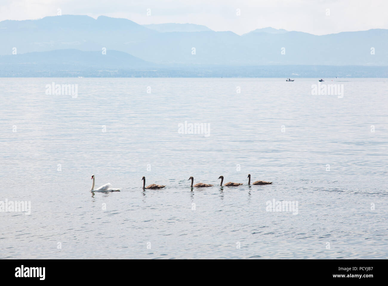 Swan family: mother and four young babies on Geneva Lake (Lake Leman) near Rolle, La Cote region,  Vaud, Switzerland on beautiful sunny summer day - Stock Image