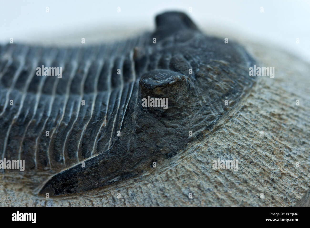 A close-up of the unique compound eyes of an extinct Trilobite. - Stock Image
