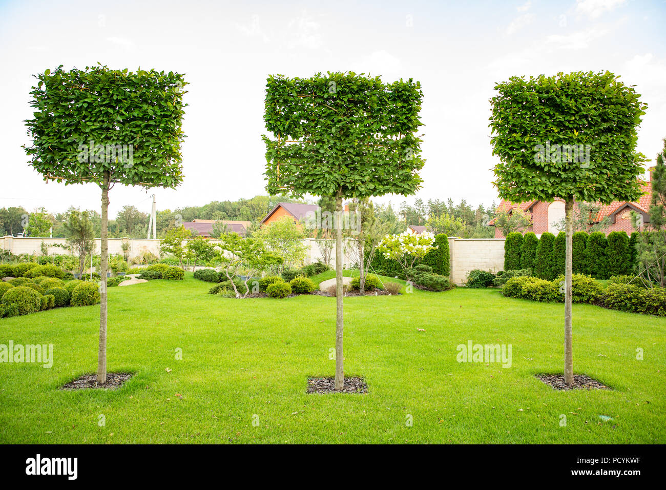 Three Square Ficus Trees Landscape Design Garden Stock Photo