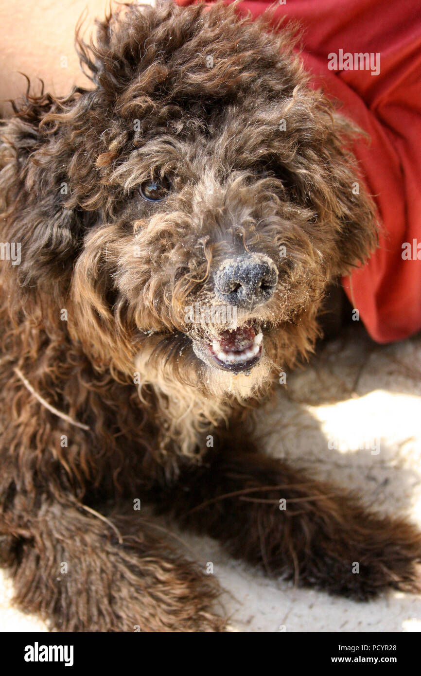 Brown Fluffy Dog Looking at Camera Stock Photo