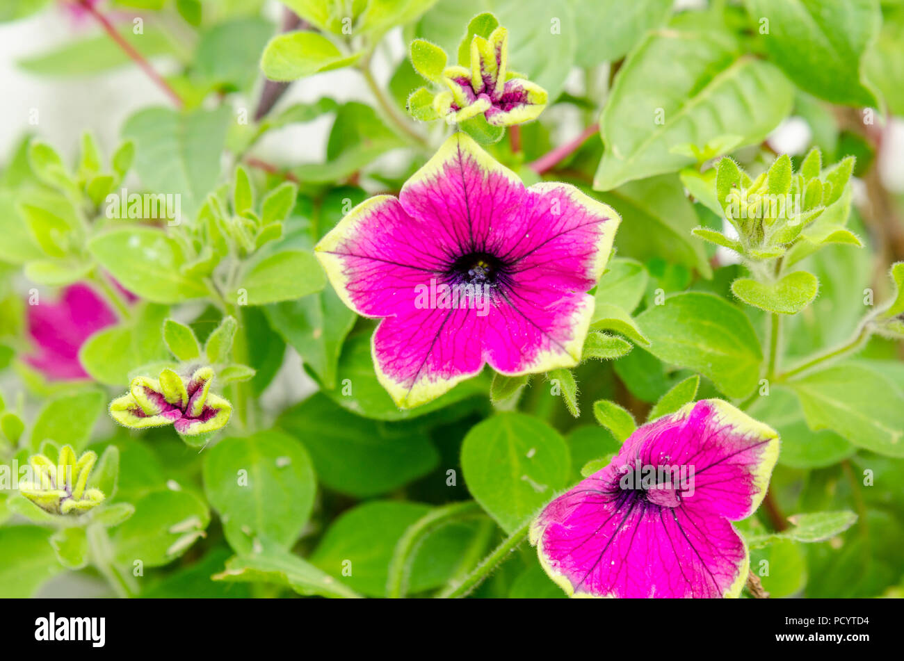 Petunia buzz purple flower, Petunioideae - Stock Image