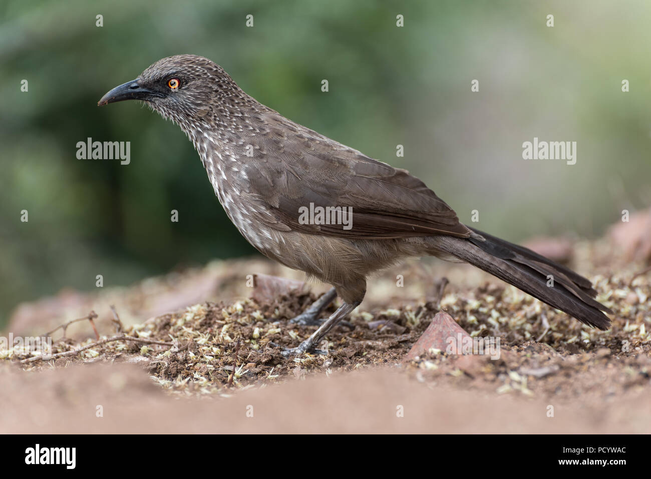 Close up portrait of arrow-marked babbler standing on ground with soft green background, Kruger National park, South Africa - Stock Image