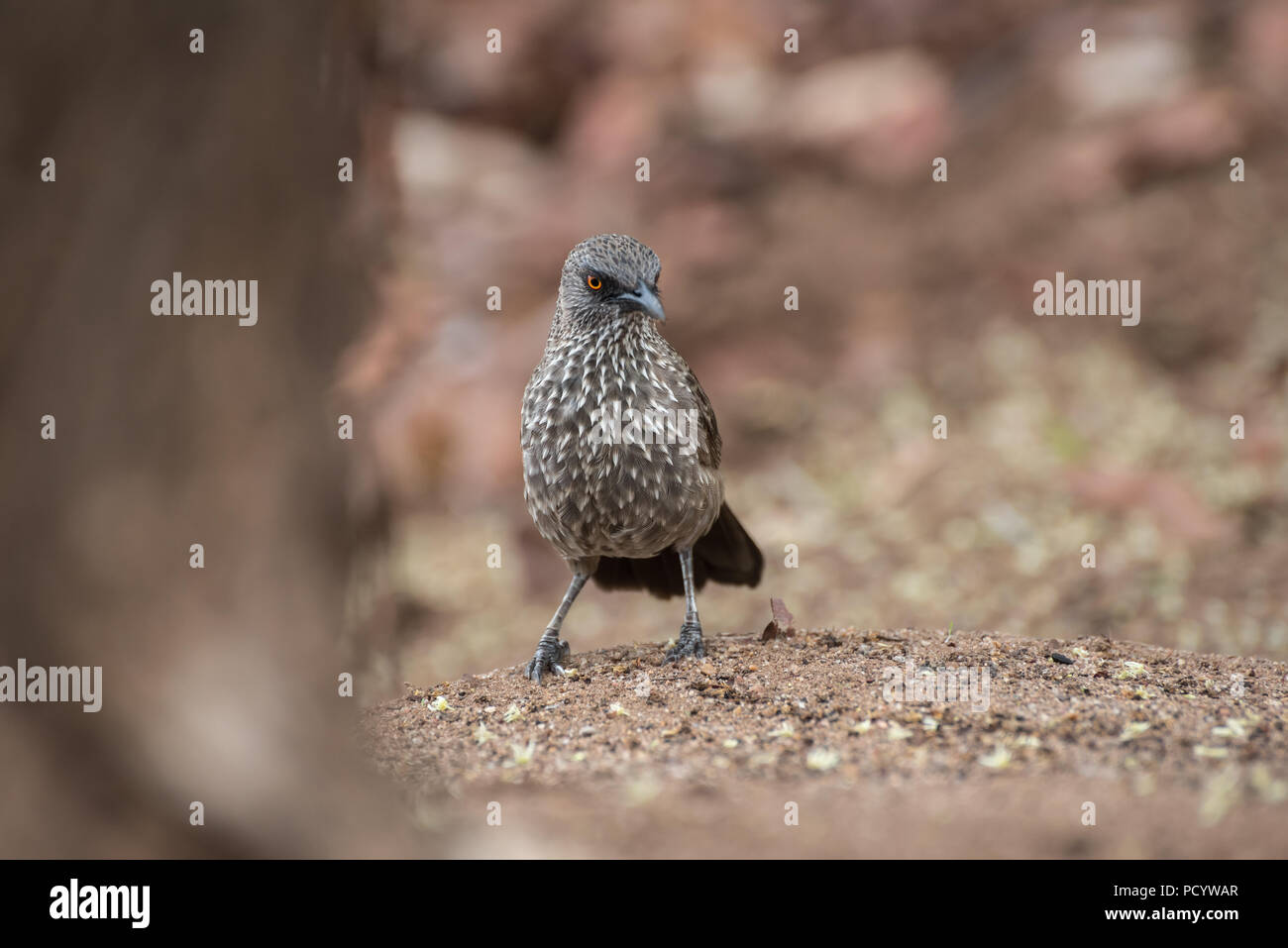 Close up portrait of arrow-marked babbler standing on ground with brown background, Kruger National Park, South Africa - Stock Image