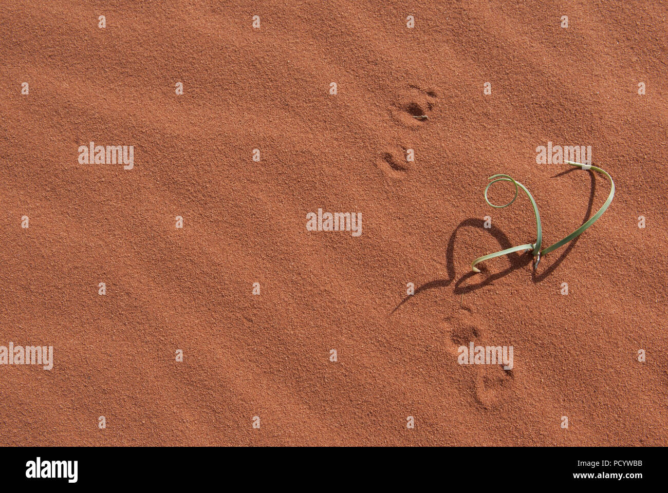 Green plant growing in red desert sand with shadows and footprints, success in arid region - Stock Image