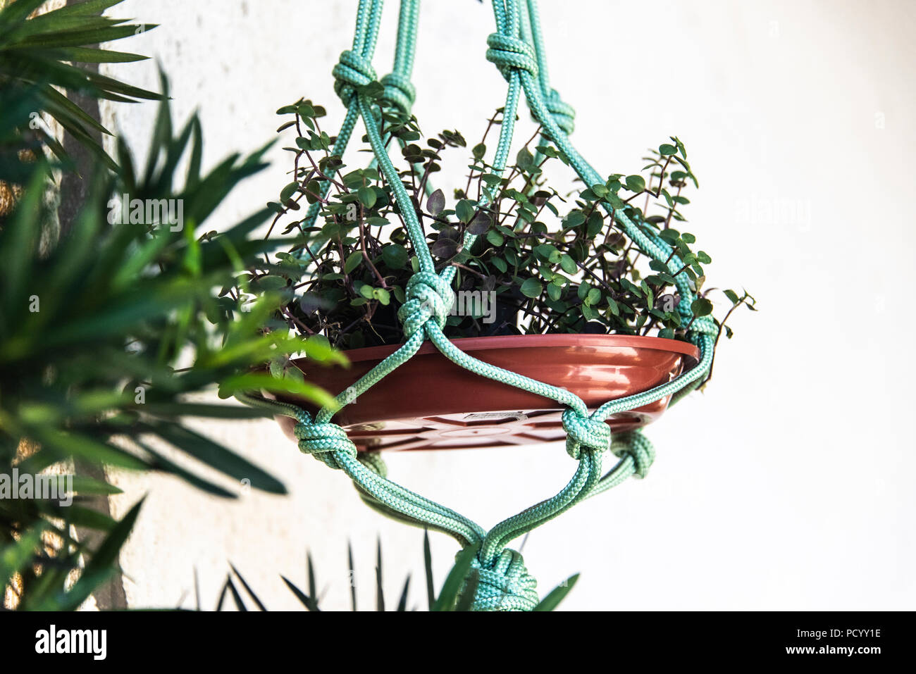 suspended, patternMacrame pot holders with Bolivian Jew Mouse Ear ivy (Callisia repens) against a white background - Stock Image