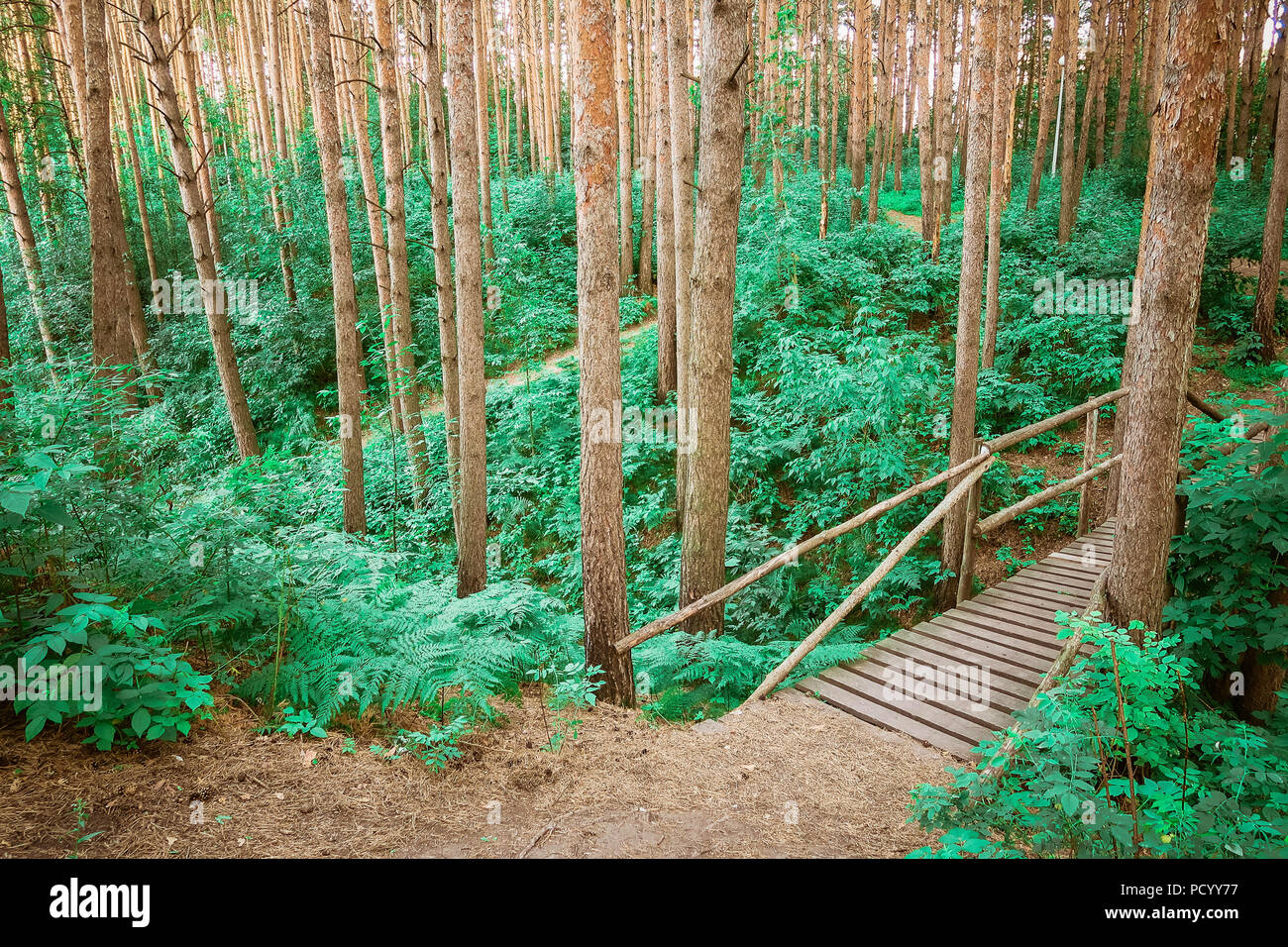 The wooden path leading through a green forest. View on tourist wooden pathway among trees and grass. Russian nature. Stock Photo
