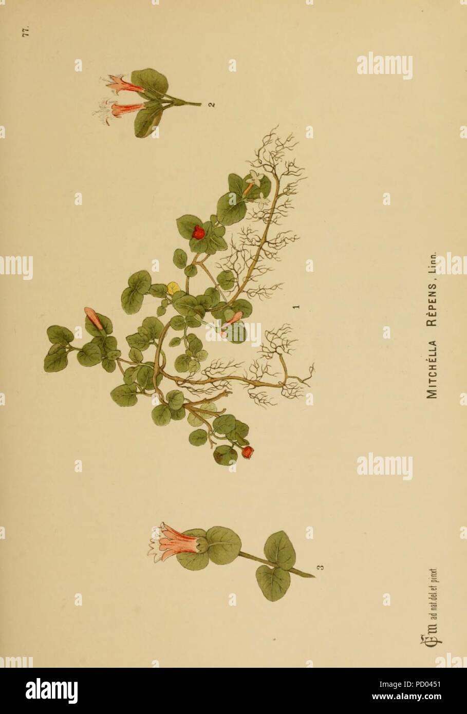 American medicinal plants (Plate 77) - Stock Image