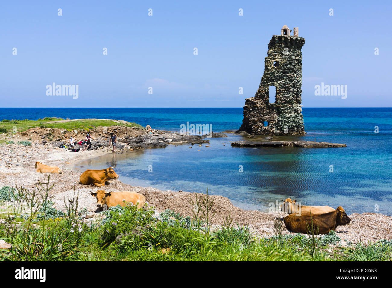 Cows on beach in front of Santa Maria Rogliano Genoese tower. Sentier des douaniers, Cap Corse, Corsica, France. - Stock Image