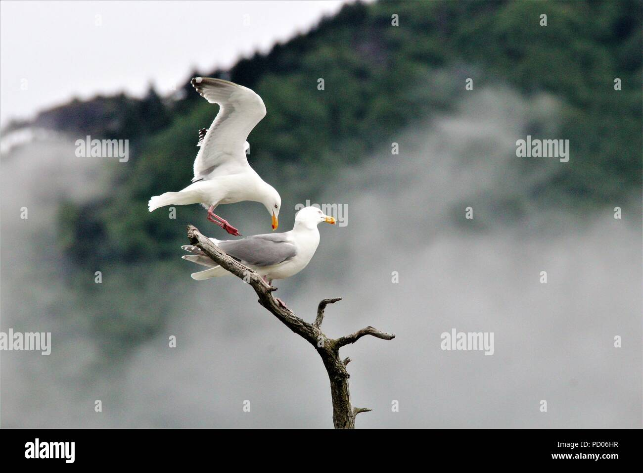 Seagulls coming in to land on tree Stock Photo