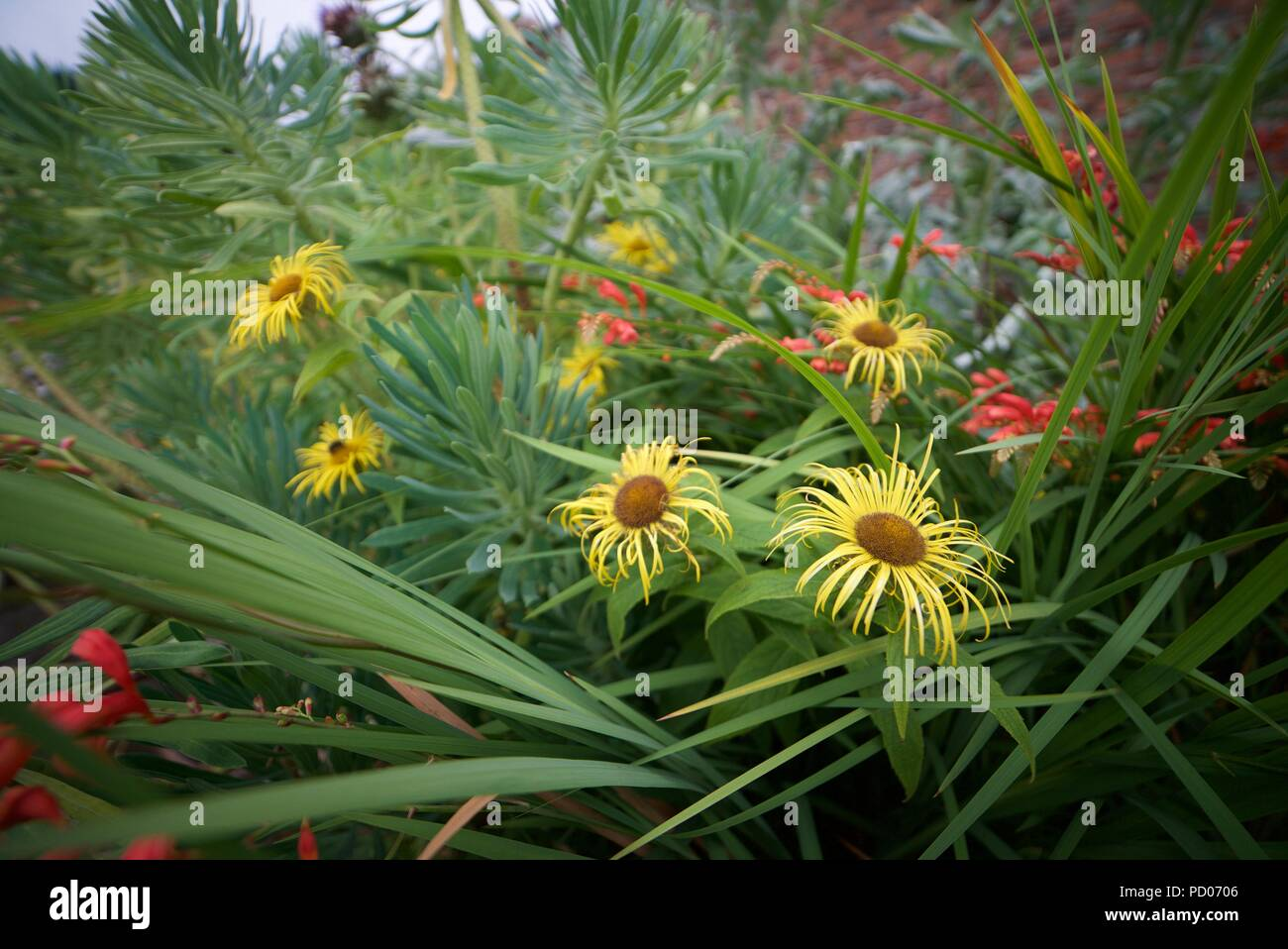 Long thin petals stock photos long thin petals stock images alamy inula hookeri flowers with long thin yellow petals hookers inula stock image mightylinksfo