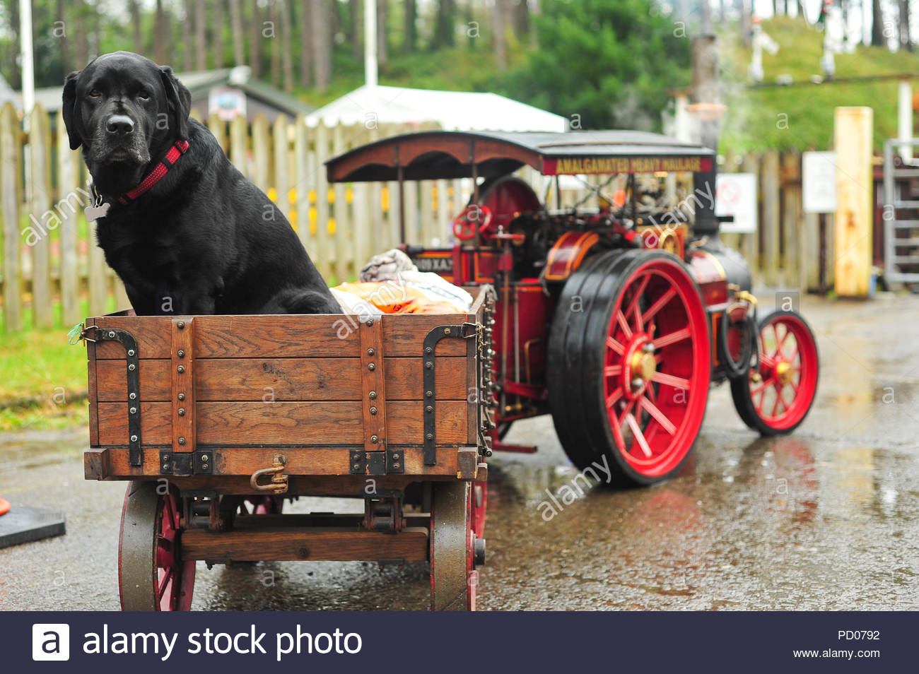 Black Labrador sat in a trailer towed by a steam engine. Man's best friend. Dog - Stock Image
