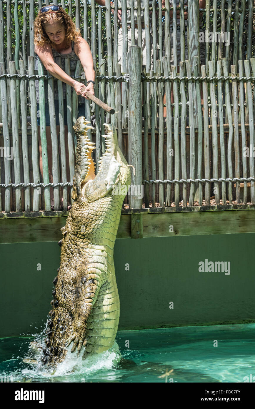 Maximo, a massive 1250 pound saltwater crocodile measuring over 15 feet long, leaps for food at St. Augustine Alligator Farm Zoological Park. - Stock Image