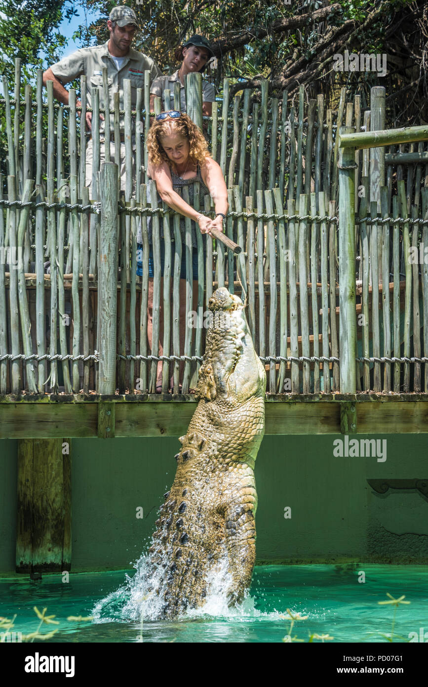 Woman feeding Maximo, a 1250 pound saltwater crocodile over 15 feet long, as it leaps from the water at St. Augustine Alligator Farm Zoological Park. - Stock Image