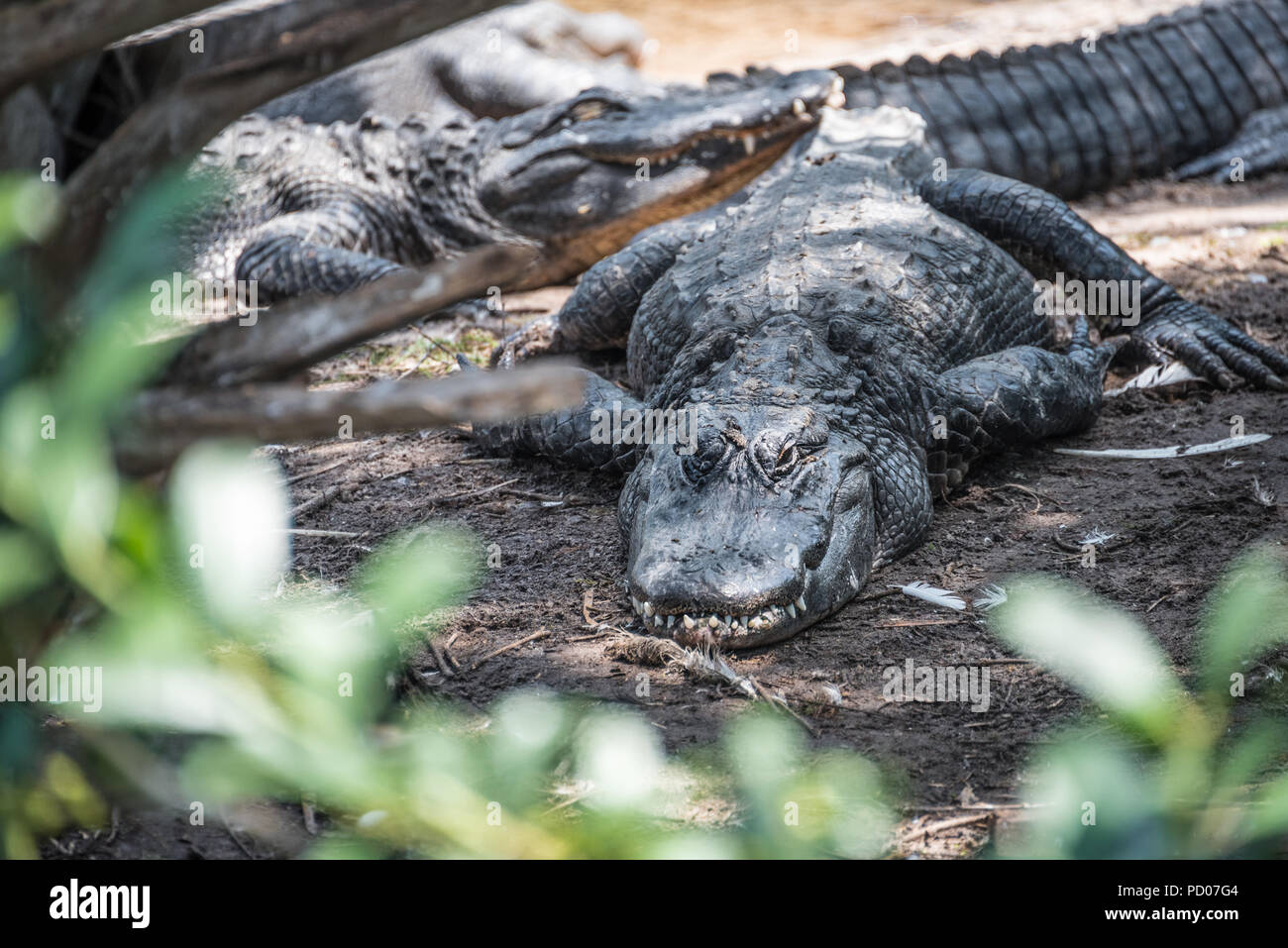 Resting alligators at St. Augustine Alligator Farm Zoological Park in St. Augustine, Florida. (USA) - Stock Image