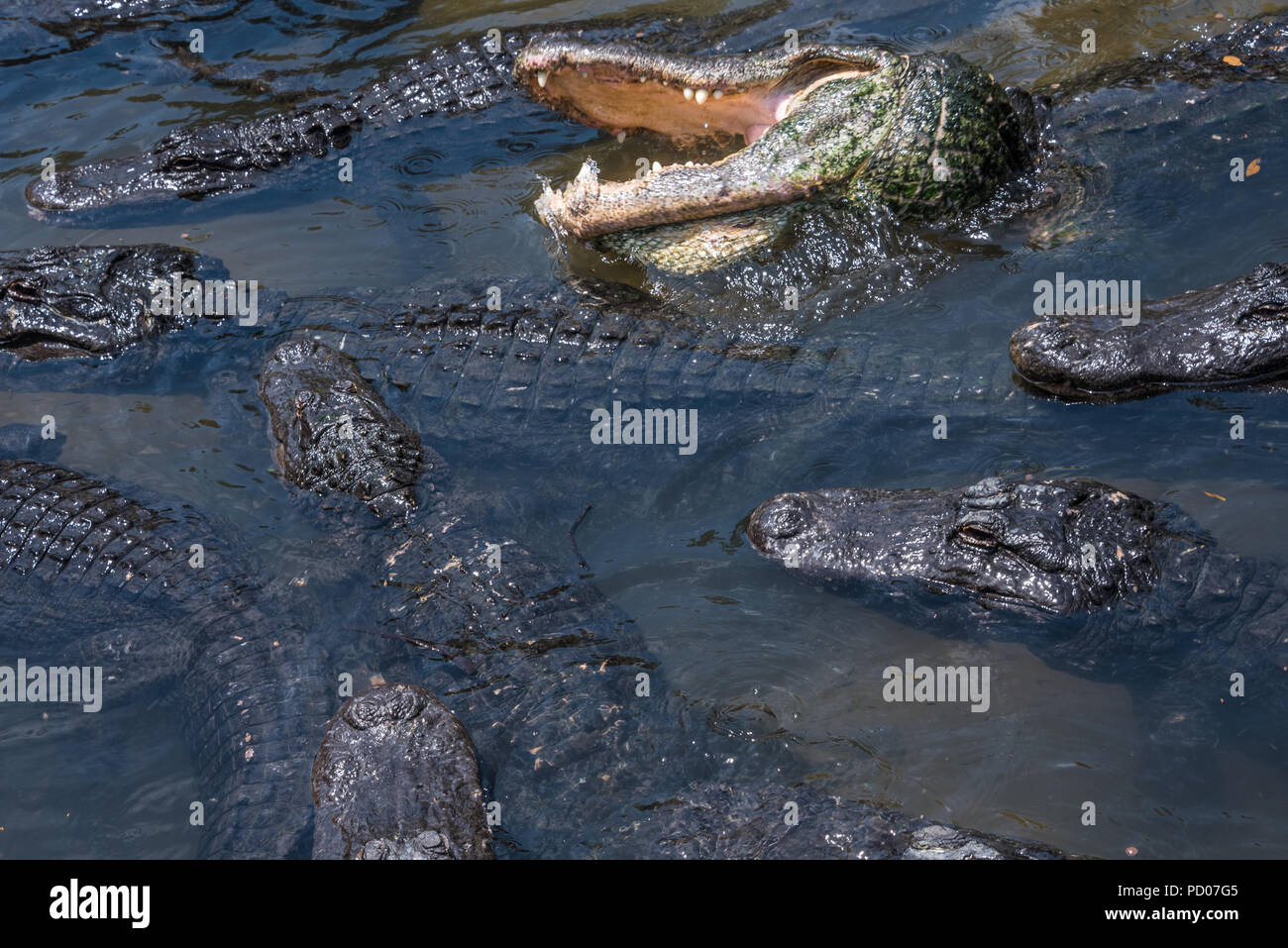 A congregation of gators at St. Augustine Alligator Farm Zoological Park in St. Augustine, Florida. (USA) - Stock Image