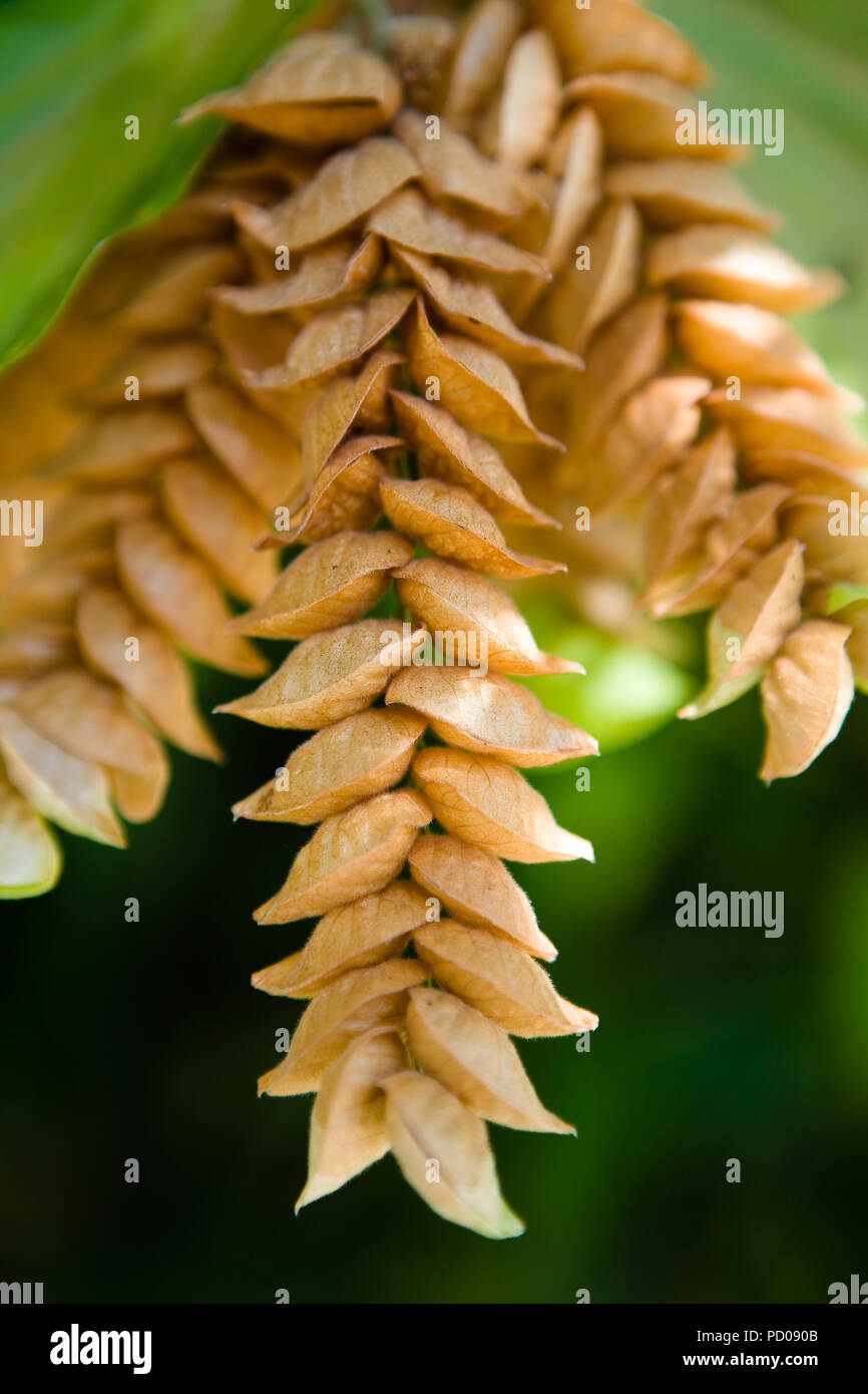 An unusual exotic tropical plant close-up. The nature of Thailand. - Stock Image