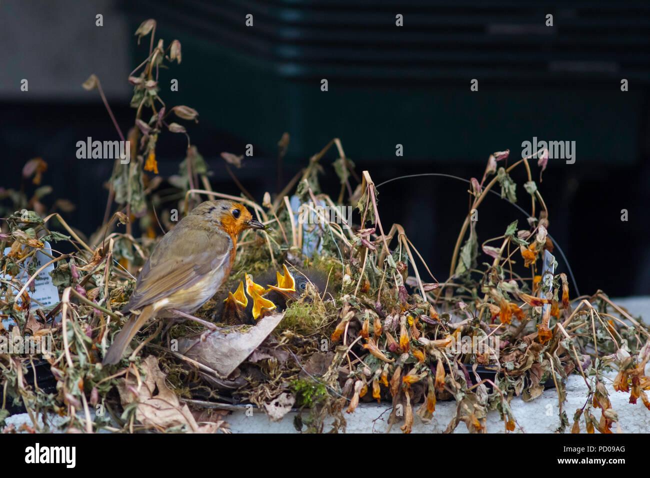 A Robin feeding chicks in a nest built in a nurserymans plant tray. - Stock Image