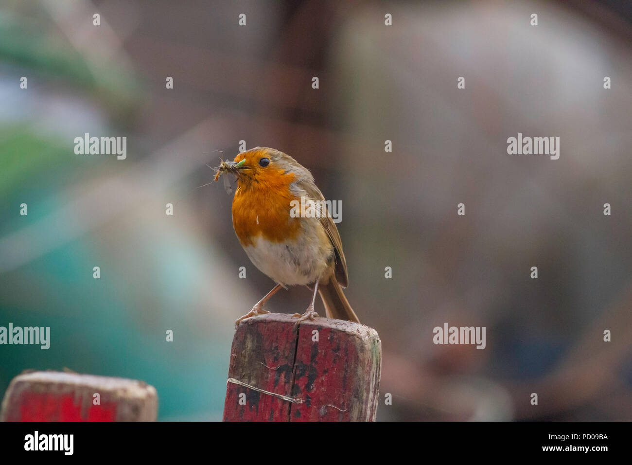 A robin with a beak full of insects ready to feed its young. - Stock Image