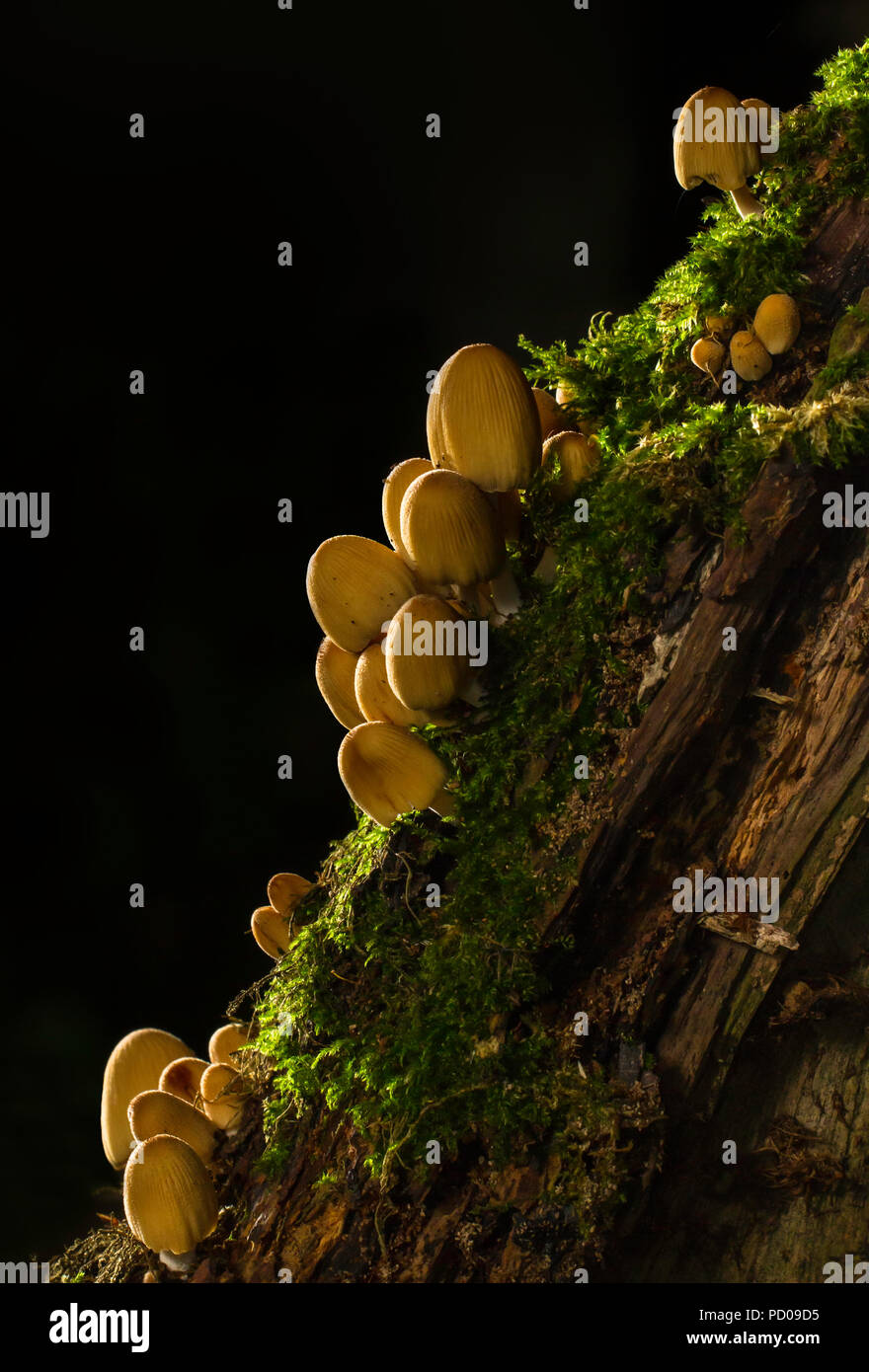 Group of fungi, Coprinellus micaceus or Glistening Inkcap, growing on the stump of a fallen tree. - Stock Image