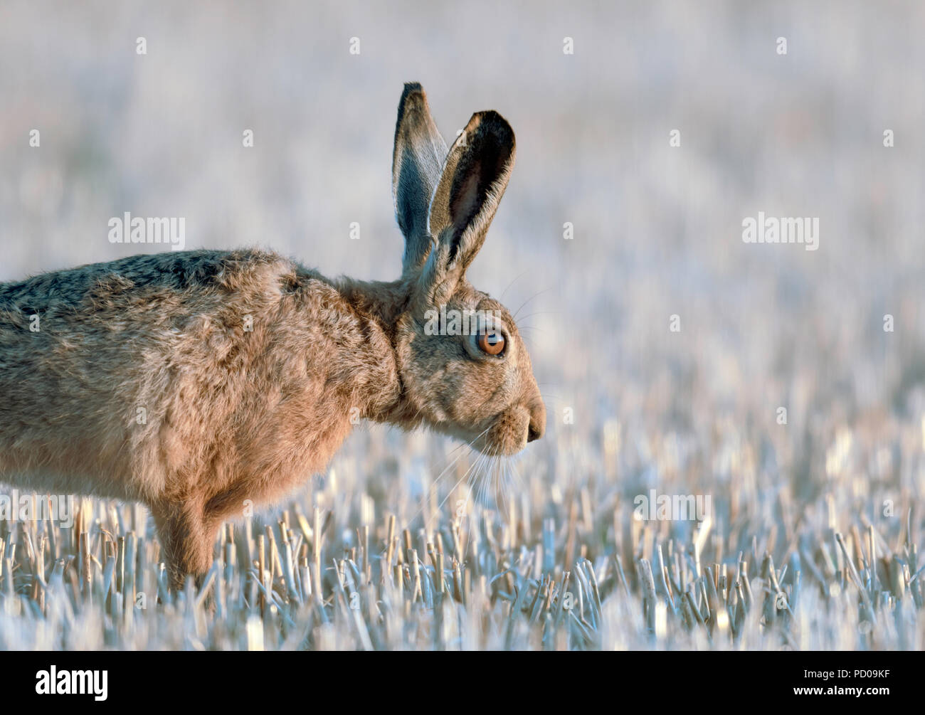 A brown Hare gets up from the stubble field and stretches before moving off. - Stock Image