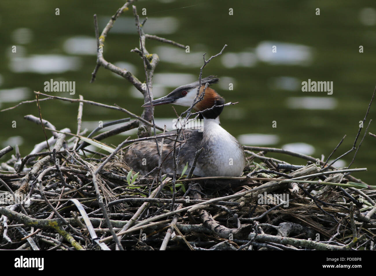 Great crested grebe, podiceps cristatus, Ranworth Broad, Norfolk - Stock Image