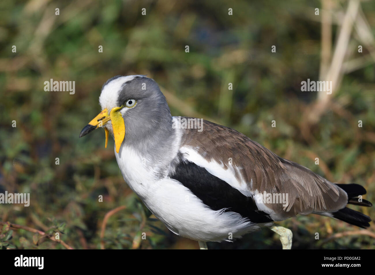South Africa, a fantastic travel destination to experience third and first world together. White crowned lapwing close-up. Kruger Park. - Stock Image