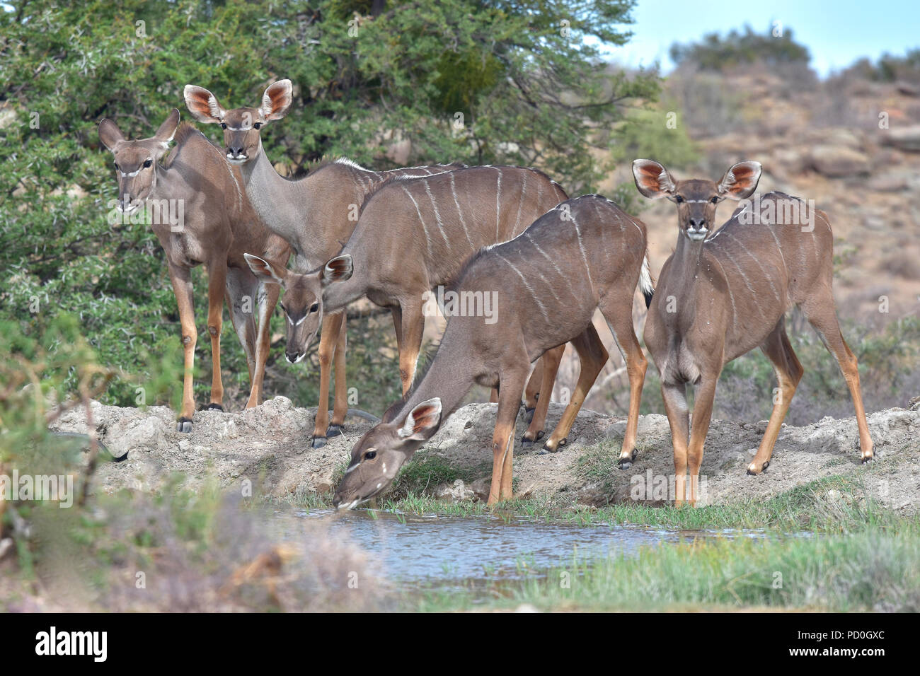 South Africa, a fantastic travel destination to experience third and first world together. Kudu cows drink wat waterhole in Karoo National Park. - Stock Image