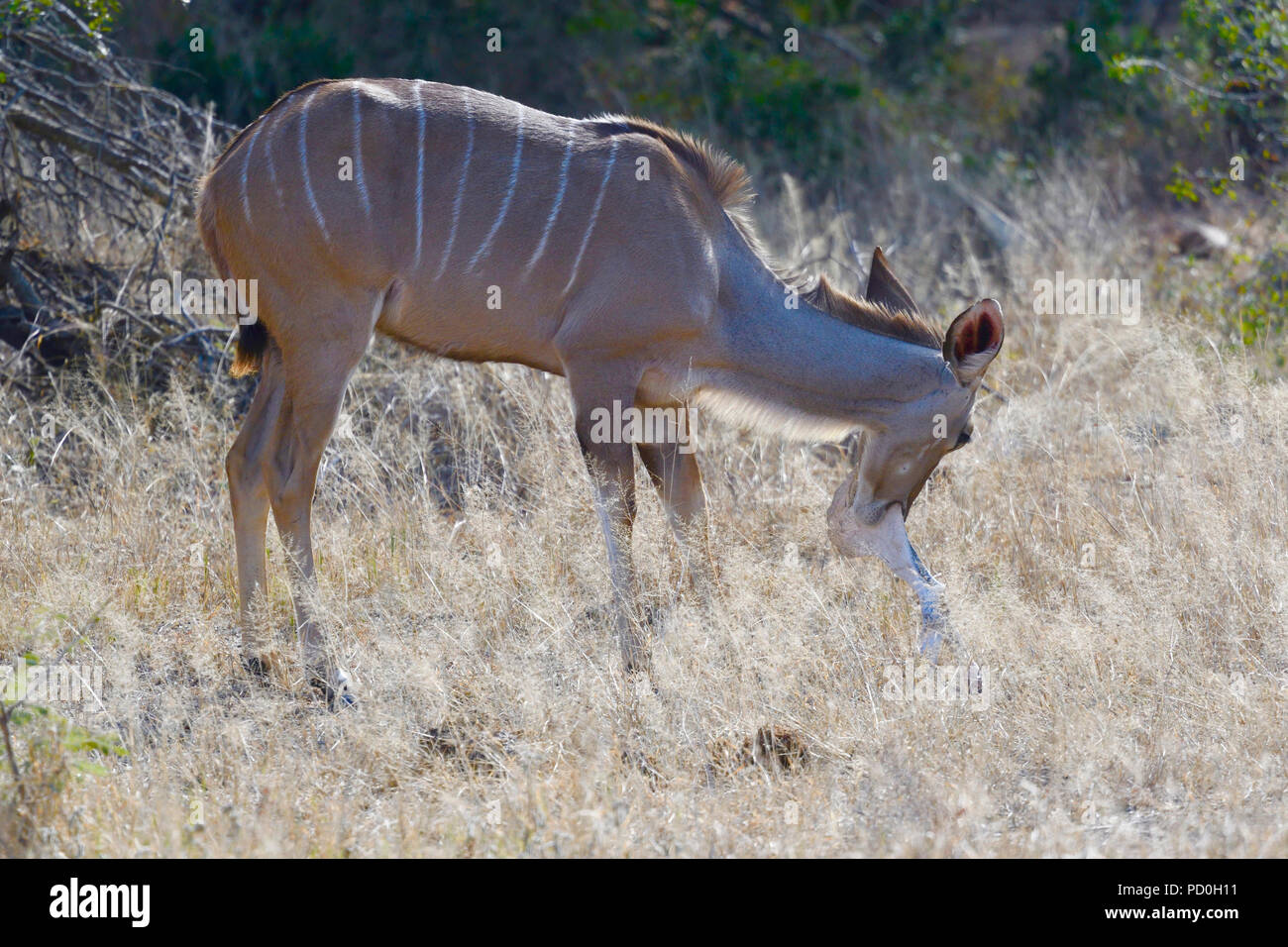 South Africa, a fantastic travel destination to experience third and first world together. Kuducow eating/chewing bones in Kruger Park. - Stock Image