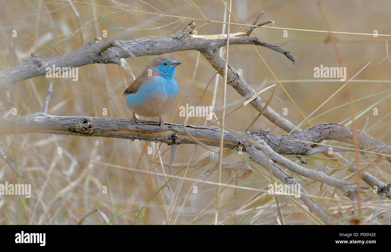 South Africa, a fantastic travel destination to experience third and first world together. Blue waxbill in dry grass. - Stock Image