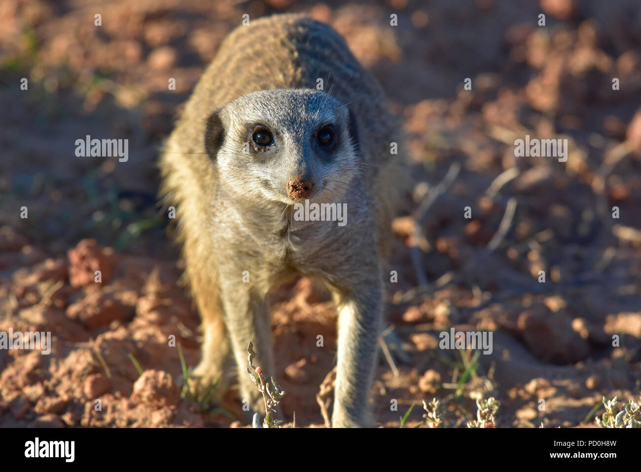 South Africa, a fantastic travel destination to experience third and first world together. Suricat or meerkat foraging in Addo Elephant park. - Stock Image