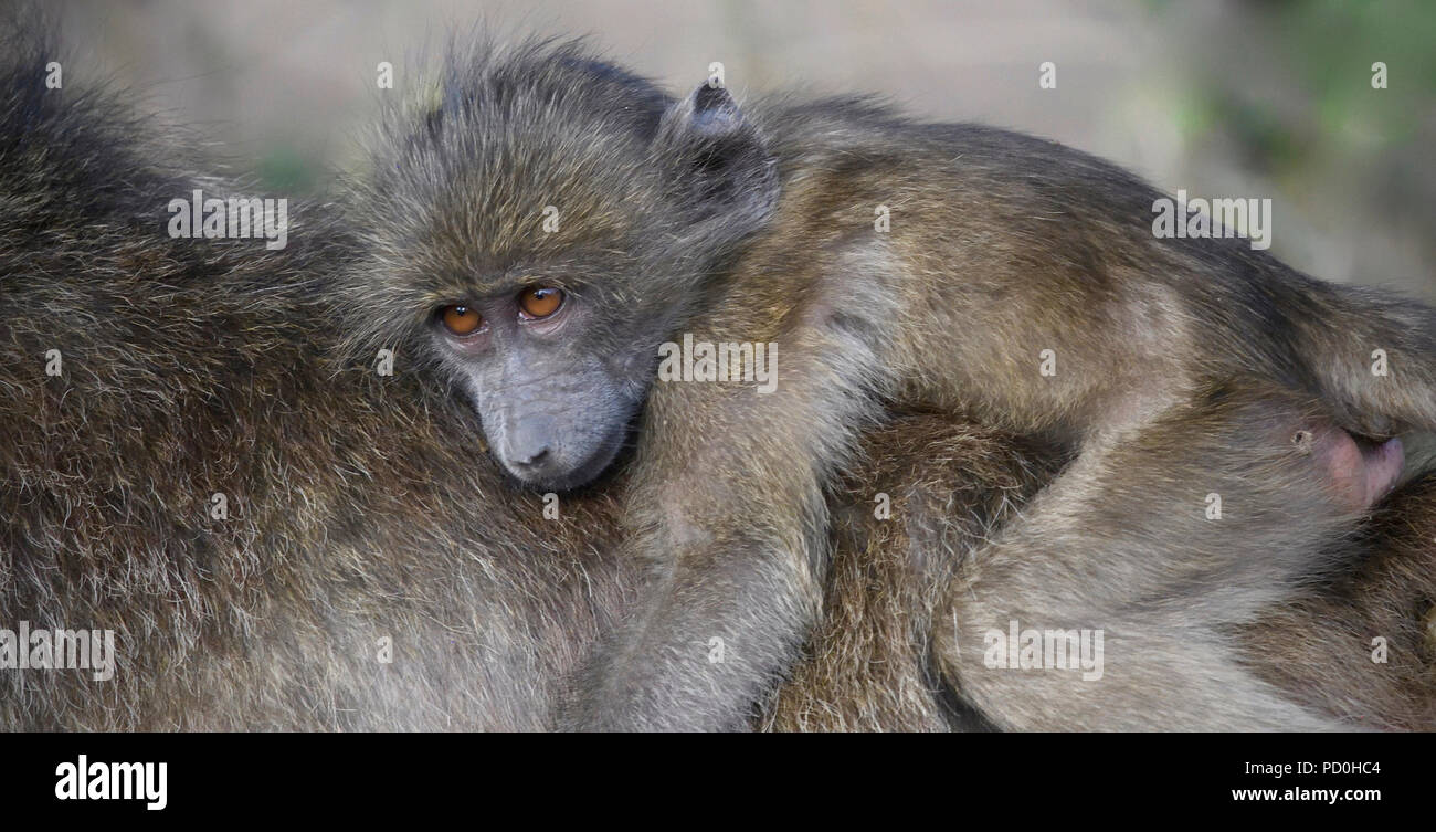 South Africa, a fantastic travel destination to experience third and first world together. Baby chacma baboon riding on mom's back. - Stock Image